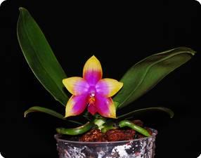 phal princess kaiulani 39 miki 39 orchideen der schwerter. Black Bedroom Furniture Sets. Home Design Ideas