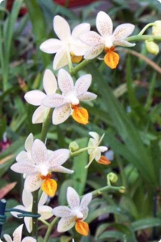 phalaenopsis mini mark bl hend orchideen der schwerter orchideenzucht. Black Bedroom Furniture Sets. Home Design Ideas