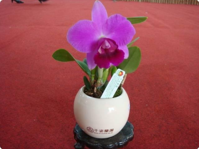 lc mini purple cluster orchideen der schwerter orchideenzucht. Black Bedroom Furniture Sets. Home Design Ideas