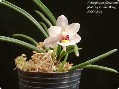 holcoglossum flavescens orchideen der schwerter orchideenzucht. Black Bedroom Furniture Sets. Home Design Ideas