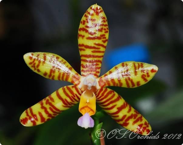 phal fasciata orchideen der schwerter orchideenzucht. Black Bedroom Furniture Sets. Home Design Ideas
