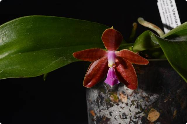 phal celebensis x mannii orchideen der schwerter. Black Bedroom Furniture Sets. Home Design Ideas