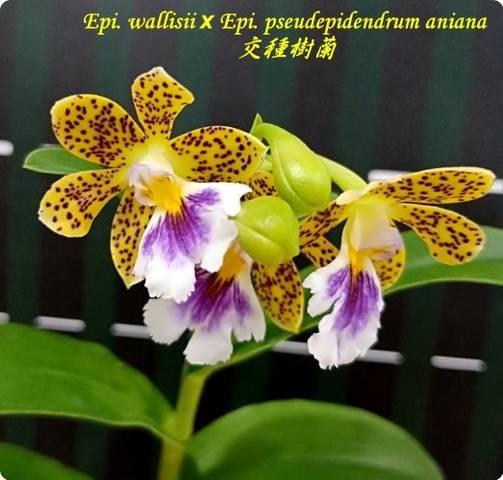 epidendrum radicans ct vigor orchideen der schwerter orchideenzucht. Black Bedroom Furniture Sets. Home Design Ideas