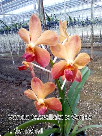 vanda orchideen kaufen